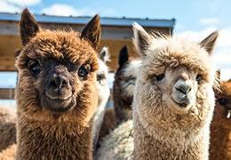 Fire de tricotat din alpaca | Kreativshop.ro